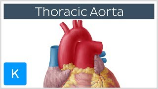 Thoracic (Descending) Aorta: Anatomy & Branches  Kenhub