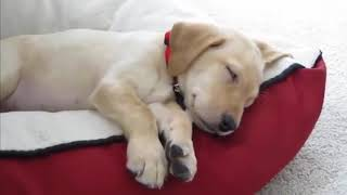 Labrador Puppies Funny Compilation #18 - Best of 2018