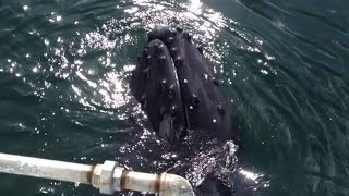 Humpback Whale Scratches On Boat