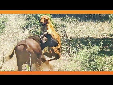 В Африке буйвол напал на львицу