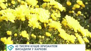 42 тисячі кущів хризантем висадили у Харкові