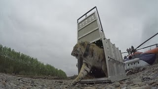 Amazing footage of Siberian tiger being released into the Russian wild