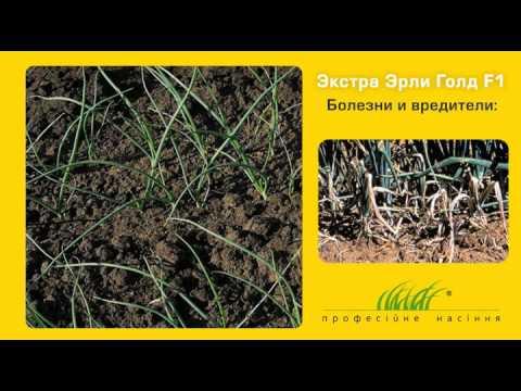 Технология выращивания озимого лука Экстра Эрли голд F1 под агроволокном