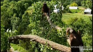 Decorah Eagles ~ Mom & Sub Adult Show Off SIMULTANEOUS Horaltic Poses! Farewell Coverage!  8.17.19