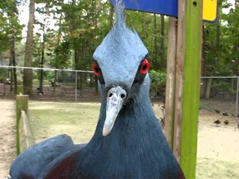 Victoria crowned pigeon calling at bird world Surrey
