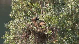 Spanish Imperial Eagle chicks in a tree top nest.