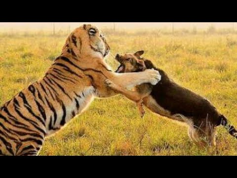 Tiger Vs Dog Real Fight Video