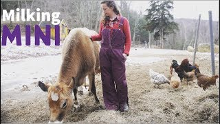 Milking a Mini Jersey - The Perfect Family Cow for a Homesteader