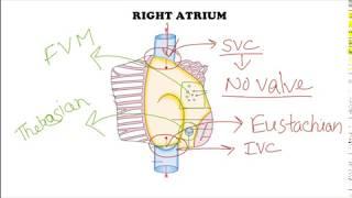 Heart : Apex, Base, Chambers, Septum, Conducting system, Histology || Anatomy