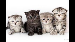 Клички для шотландских котят Правила выбора Часть 1 Имена для кошечек и котиков Names for cats