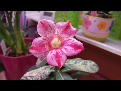 Зацвел вариегатный адениум!  ..Кое-что из орхидей ))
