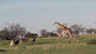 ЖЕСТЬ! Мама жираф защищает своего ребёнка от прайда львов (приколы животные)