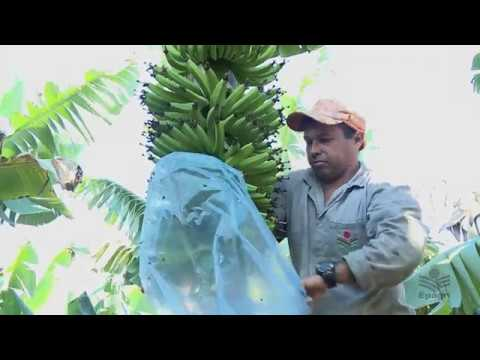 Ensacamento de banana