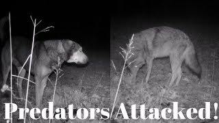 Coyote Attack? Livestock Guardian Couldn't Stop This!