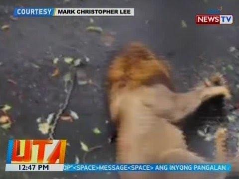 [GMA]  BT: Leon sa Manila Zoo, na-hulicam na nangingisay