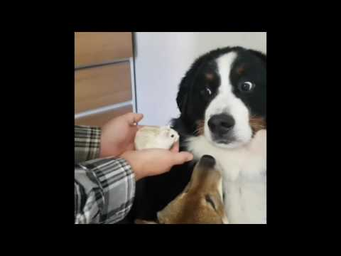 Dog Is Not Amused With Hamster