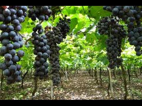 Elaboración y Crianza de Vinos - TvAgro por Juan Gonzalo Angel