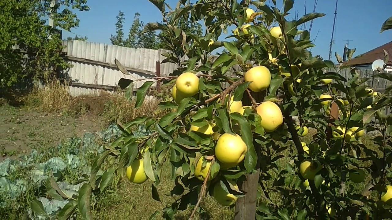 Яблоня сорта Голден Делишес