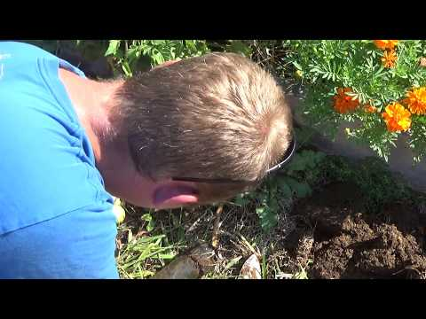 How to remove a sprinkler head and cap a sprinkler line