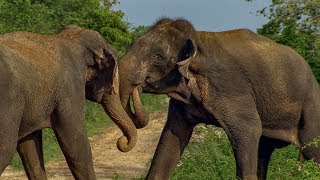 Male Elephants in Musth Fight for Dominance! | BBC Earth