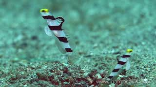 Striped Goby pair