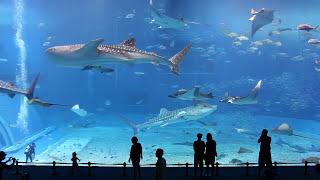 【沖縄県】美ら海水族館のマンタたちが水槽でゆらゆらゆら