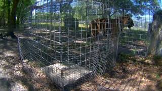 Lion and Tiger Feeding Station Cam 03-21-2018 08:40:29 - 09:40:29