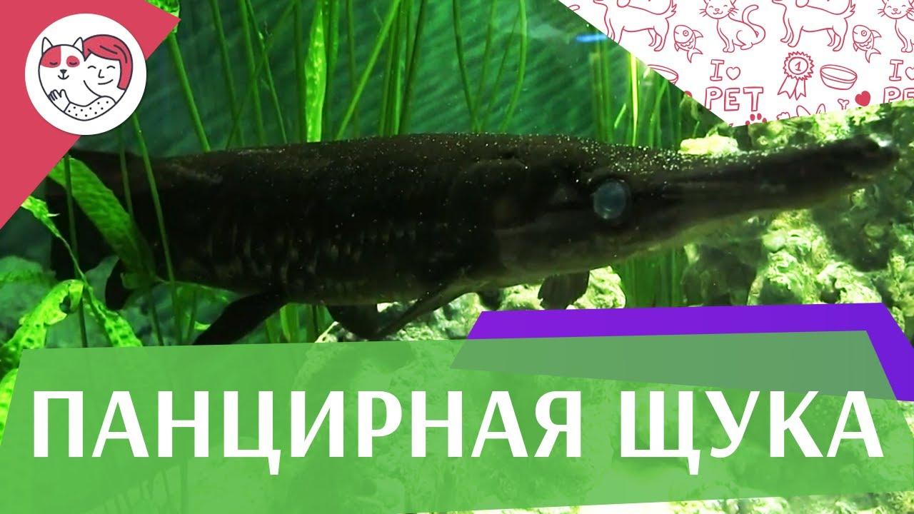Панцирная щука АкваЛого на ilikePet