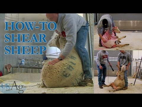 , title : 'How to shear sheep - blow by blow