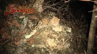 Amur leopard in Russian taïga tries to sleep