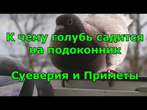 К чему голубь садится на подоконник. Суеверия и Приметы.
