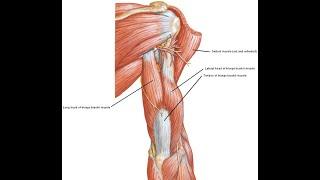 Two Minutes of Anatomy: Triceps Brachii