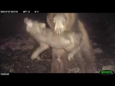 black bear attack on Tejon Ranch