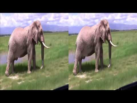 Download Elephant From Amboseli National Park Kenya 3D VR HD Mp4 3GP Video and MP3