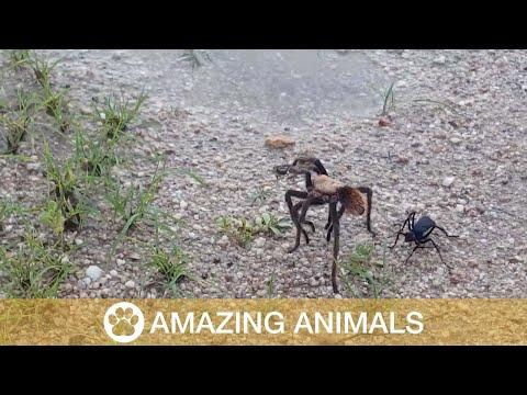 Video: Una tarántula gigante lucha por su vida contra una avispa