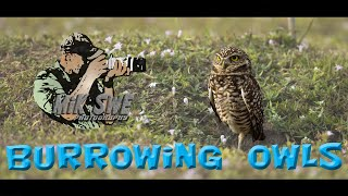 Burrowing Owls at Cape Coral
