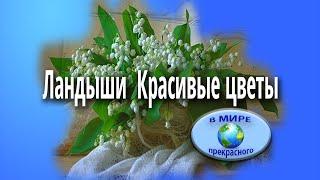 Ландыши Красивые цветы