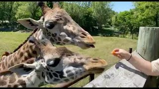 Zoo to You: Taking you to new heights with giraffe Amari and Chad
