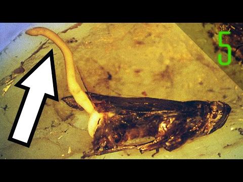 Tansi ginagamot laban sa mga worm