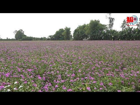 Thăm cánh đồng dược liệu dừa cạn