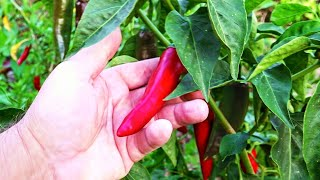 How to Grow Chilli Peppers All Year Round