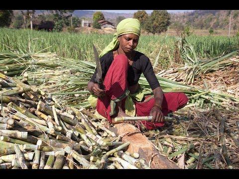 Zuckerrohr in Indien