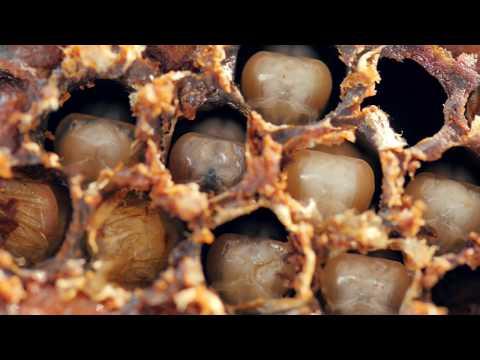 Élelmezésben élő paraziták ortega