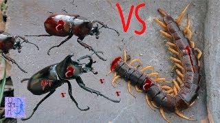 Phát Hiện Con RẾT CHÚA Vs BỌ HUNG Đánh Nhau Tranh Giành Lãnh Thổ. Centipede VS Beetles