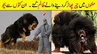 MOST Dangerous Dogs In The World | MOST Aggressive Dog Breed in the World