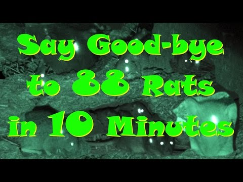 #21 - Say Good-Bye To 88 Rats In 10 Minutes - Shot With Benjamin Woods Walker