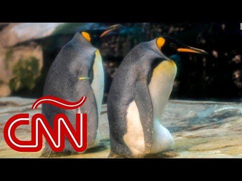 Pingüinos gay adoptan un huevo juntos