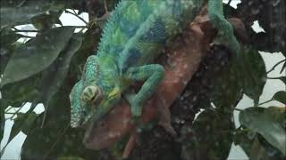 preview picture of video 'Panther chameleons breeding (HD quality)'