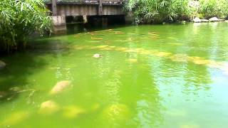 preview picture of video 'The Crane Resort Barbados: Fish Pond'