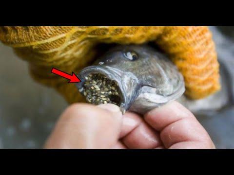 Thu trứng cá rô phi (phần 2)